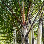 Palm Tree Spotlight: Dypsis 'Black Stem'