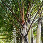 Palm Tree Spotlight: Dypsis 'Black Stem'