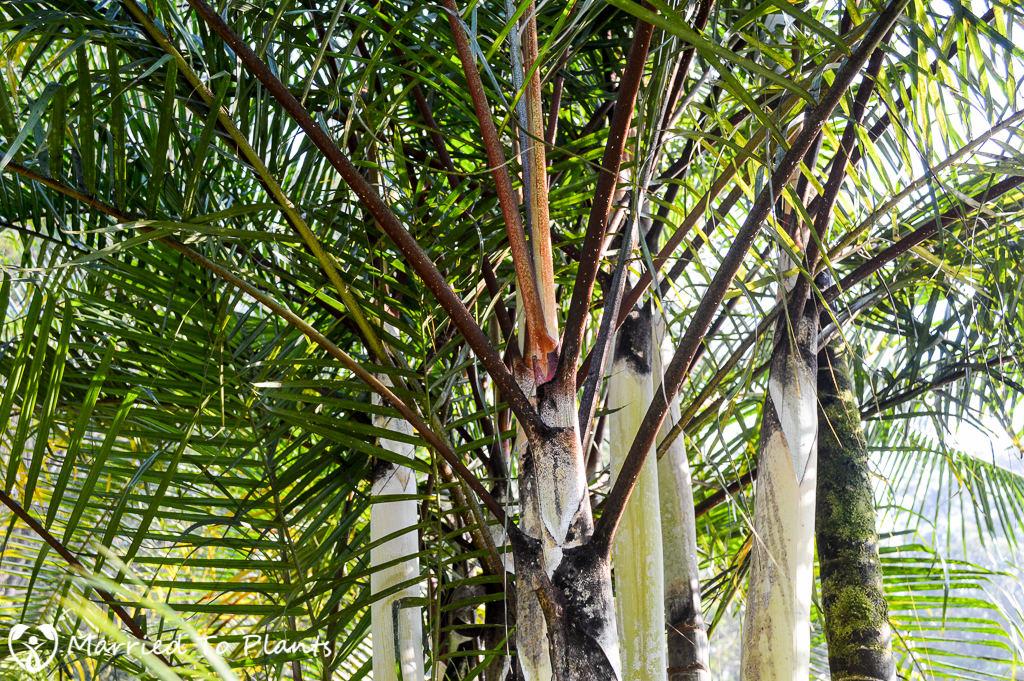 Vakona Lodge Dypsis 'Black Stem' Petioles