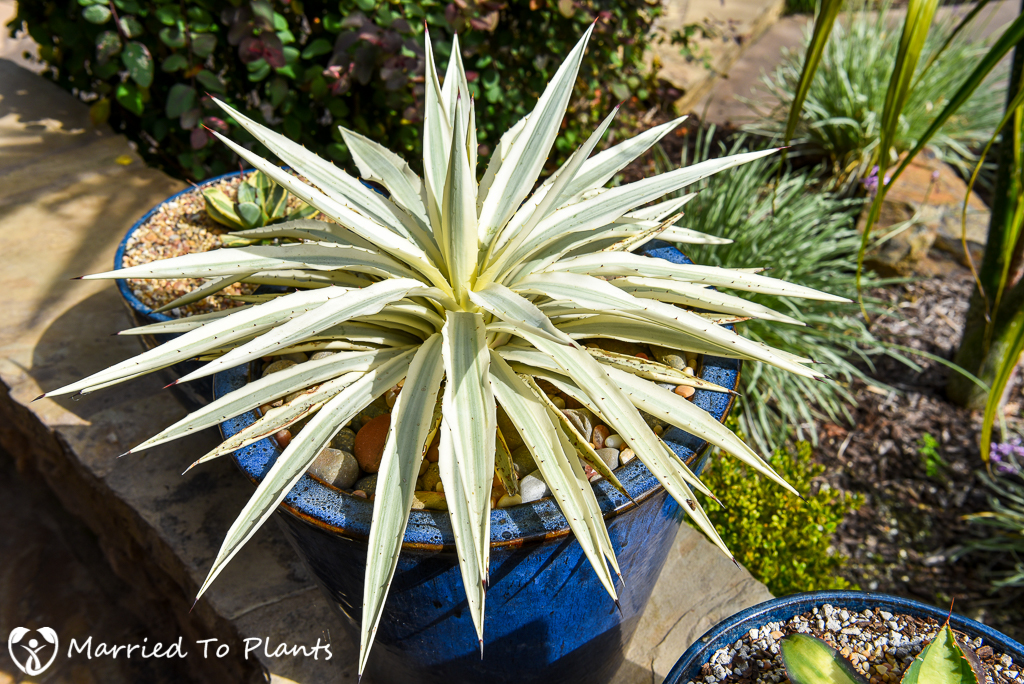 Agave angustifolia 'Milky White'