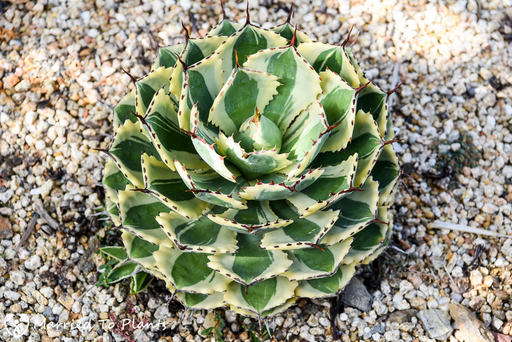 Agave potatorum 'Desert Diamond'