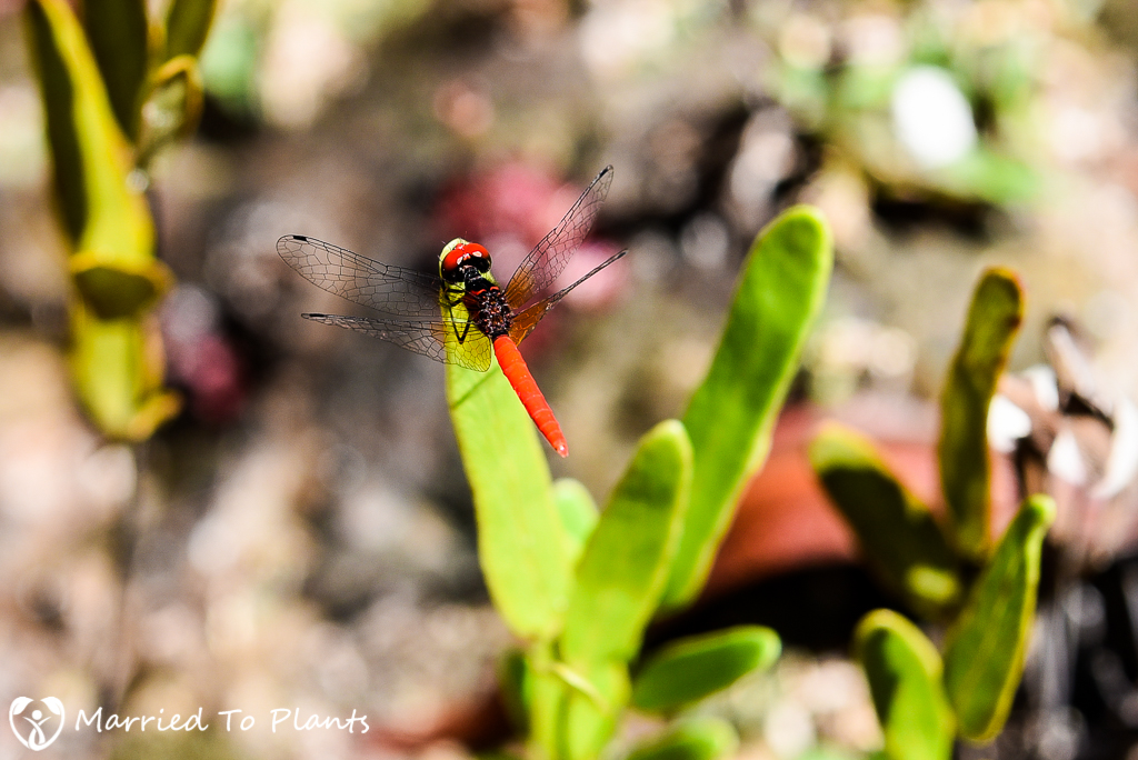 Bako National Park Dragonfly