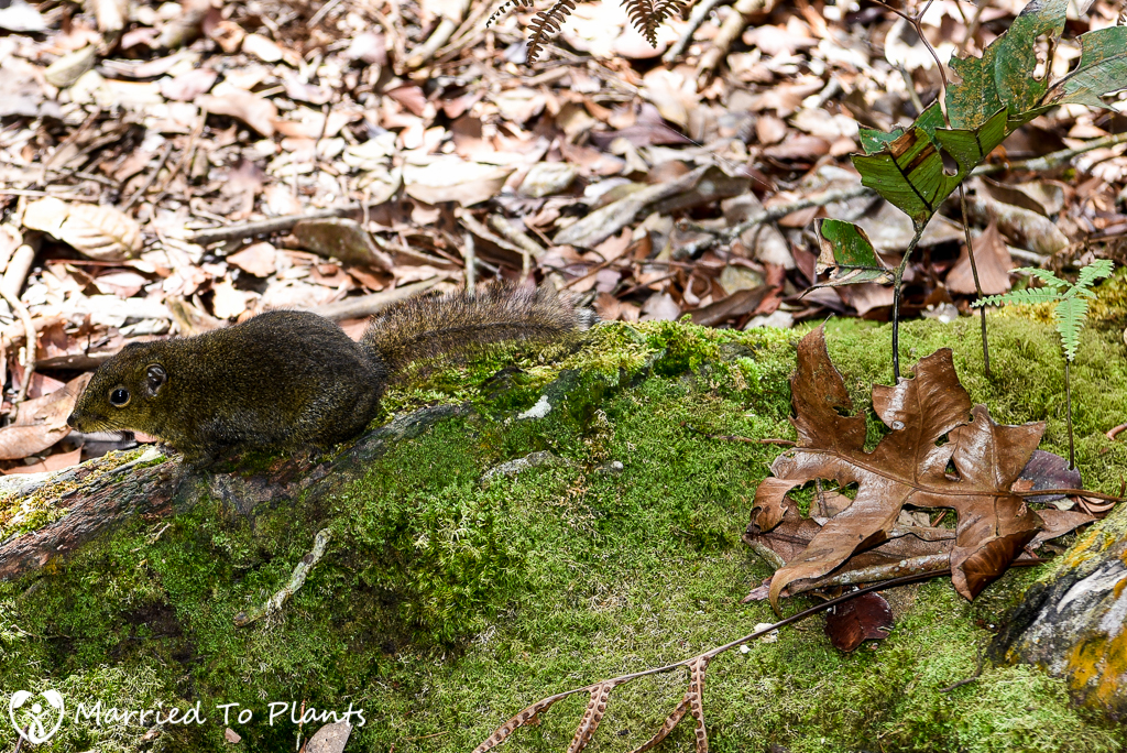 Bornean Mountain Ground Squirrel