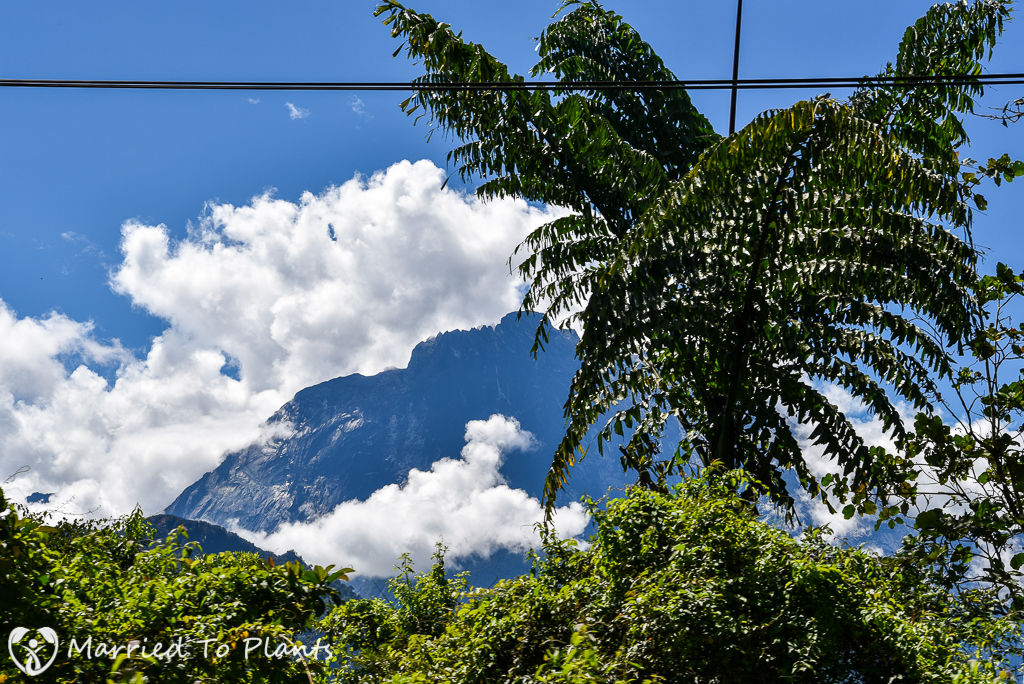 Mount Kinabalu and Caryota no