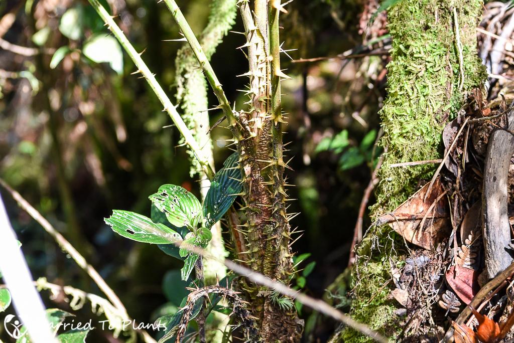 Mount Kinabalu Calamus gibbsianus