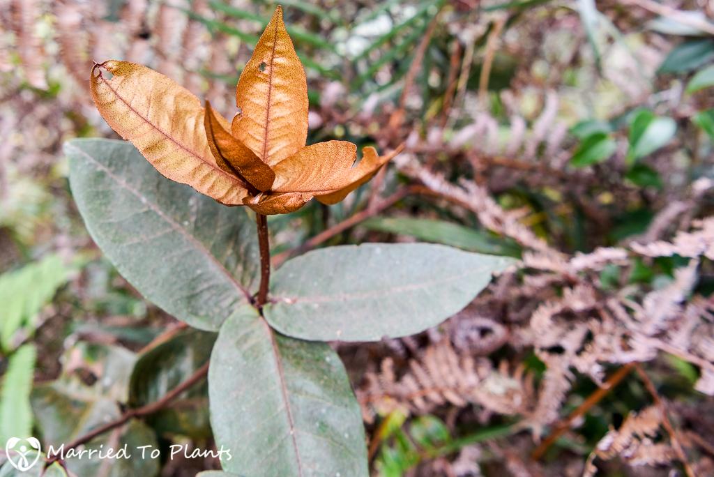 Mount Kinabalu Clethra pachyphylla