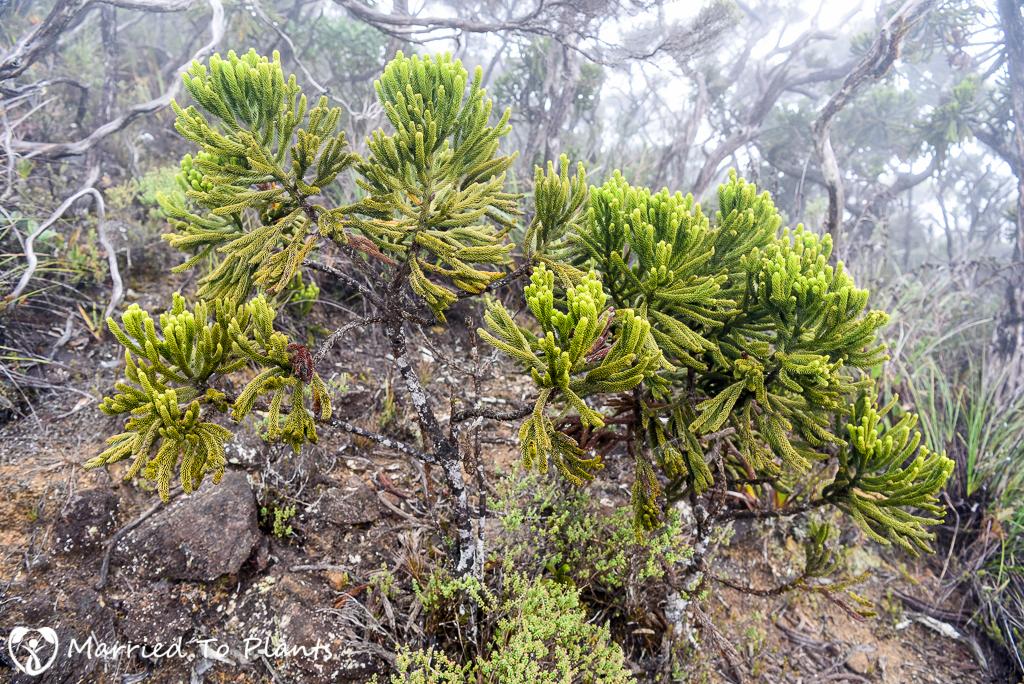 Mount Kinabalu Dacrydium gibbsiae