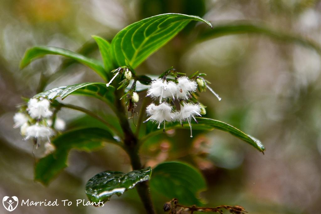 Mount Kinabalu Hedyotis pulchella
