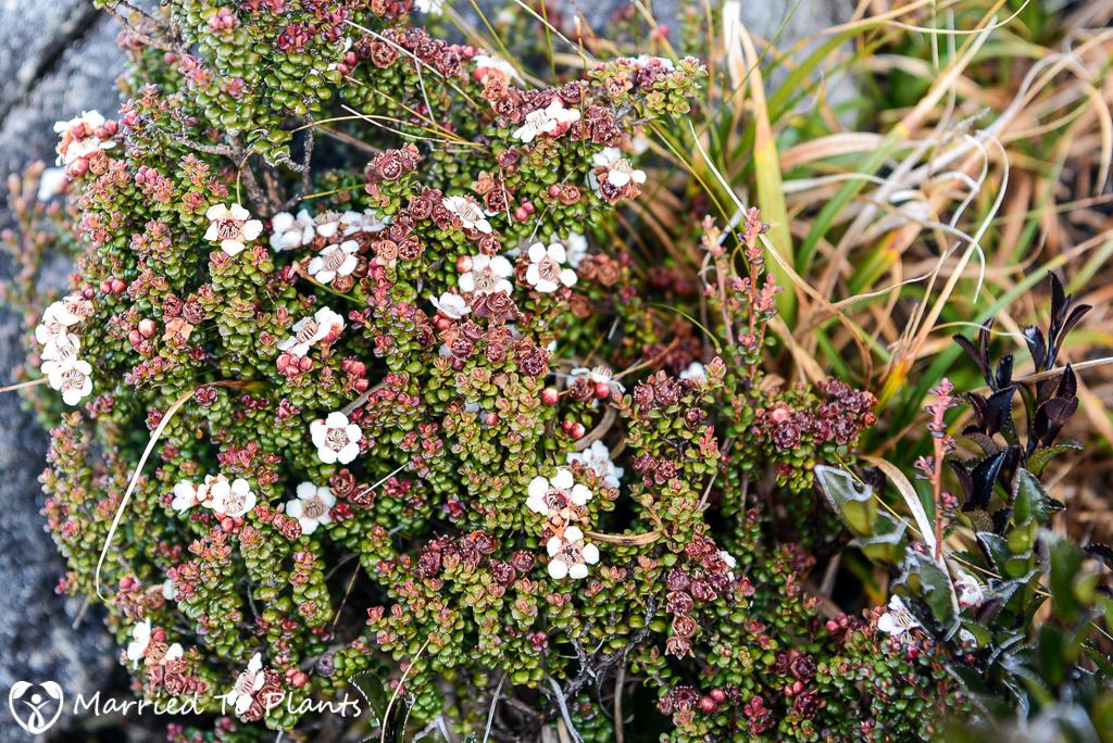 Mount Kinabalu Leptospermum recurvum