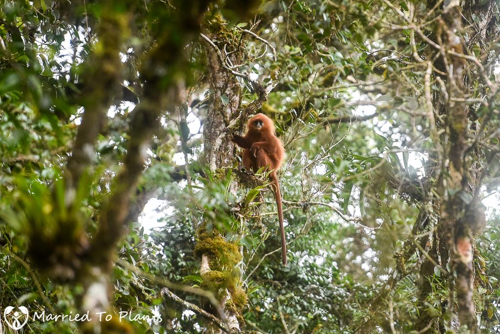Mount Kinabalu Maroon Leaf Monkey