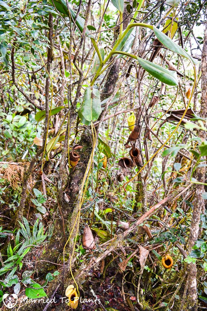 Mount Kinabalu Nepenthes villosa