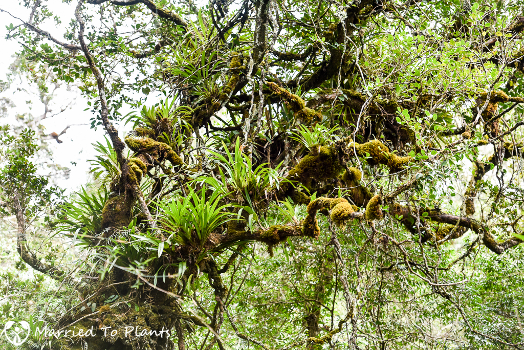 Mount Kinabalu Orchid (Eria sp)