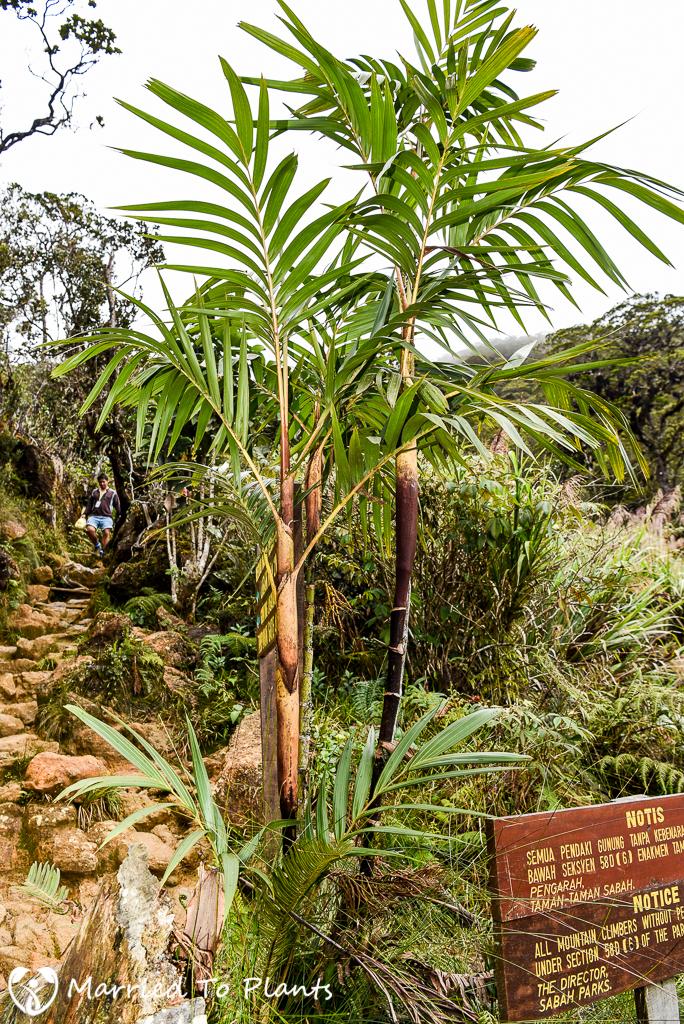 Mount Kinabalu Pinanga capitata var. capitata
