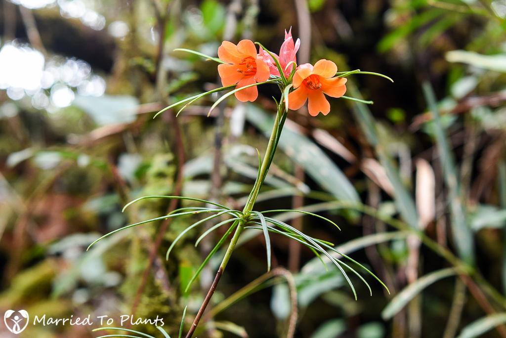 Mount Kinabalu Rhododendron stenophyllum