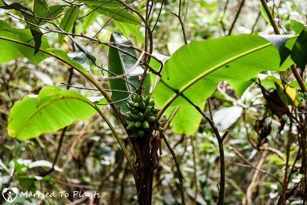 Mount Kinabalu Wild Banana