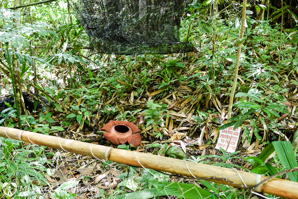 Rafflesia keithii at Adenna Rafflesia Garden