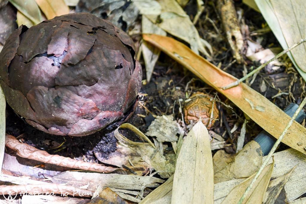 Rafflesia keithii Buds