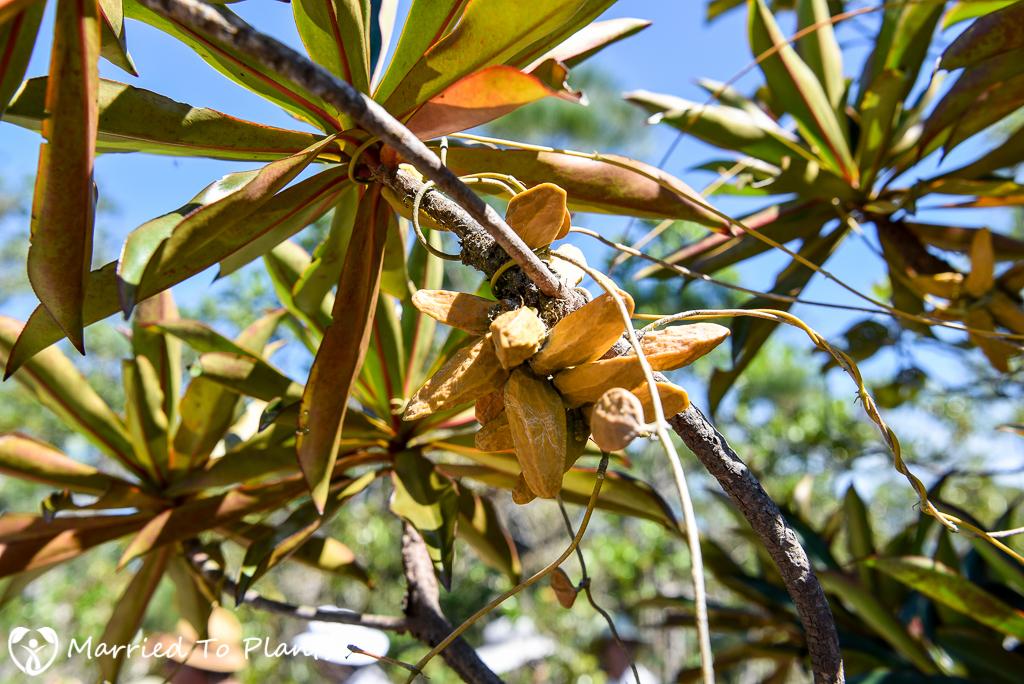 Bako National Park Dischidia rafflesiana