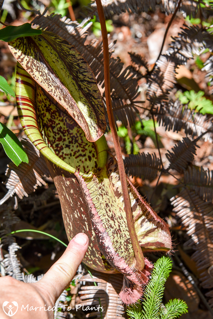 Bako National Park Nepenthes rafflesiana