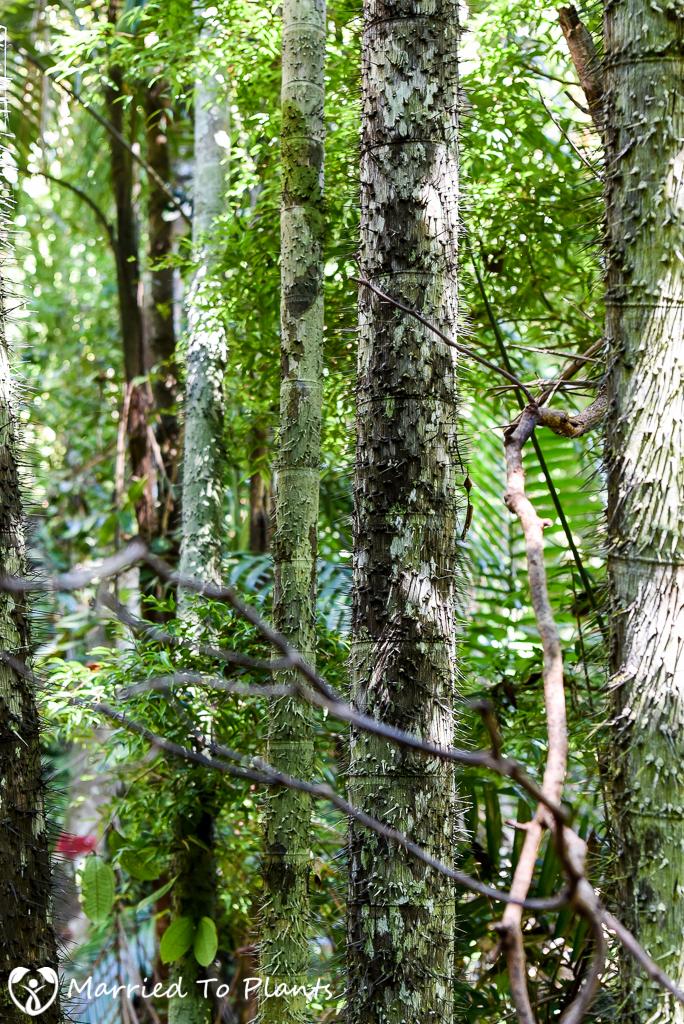 Bako National Park Oncosperma tigillarium Trunks