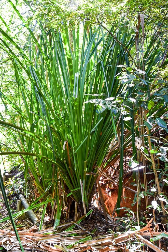 Bako National Park Pandanus Species