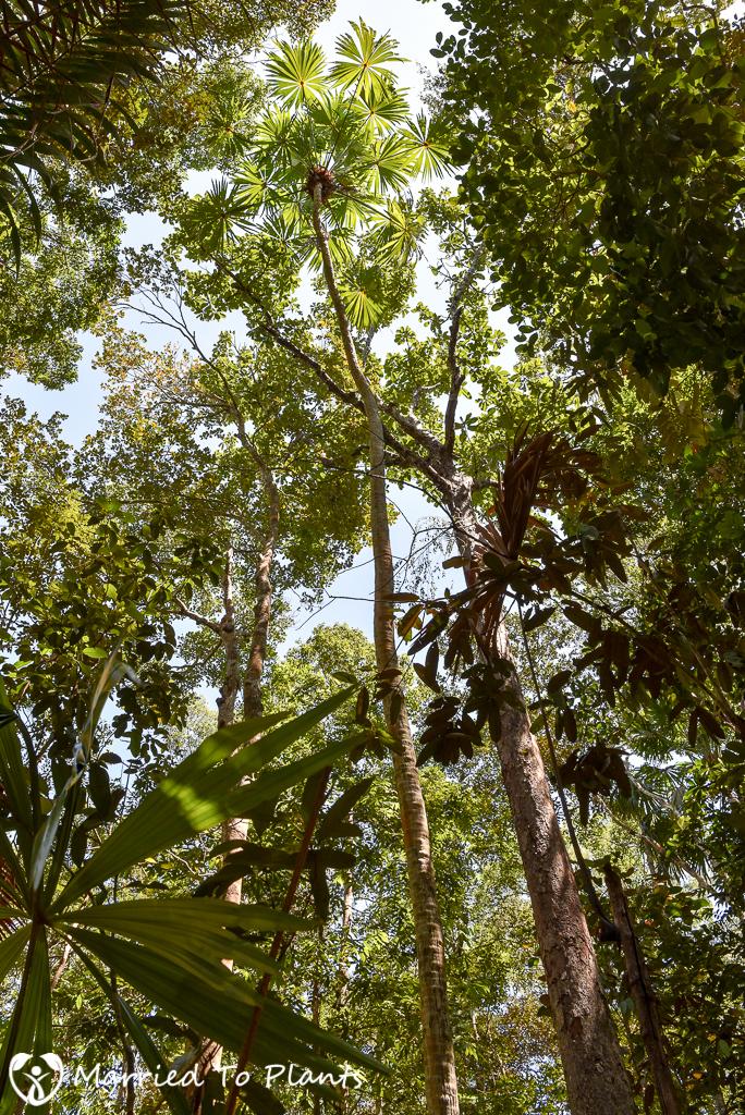 Bako National Park Pholidocarpus majadum