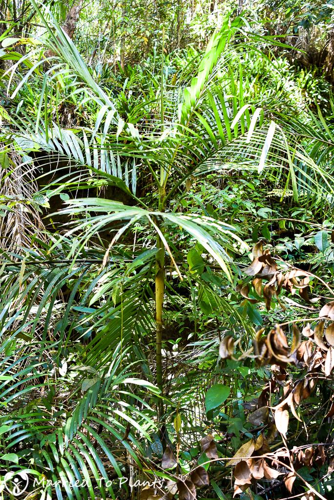 Bako National Park Pinanga pachyphylla