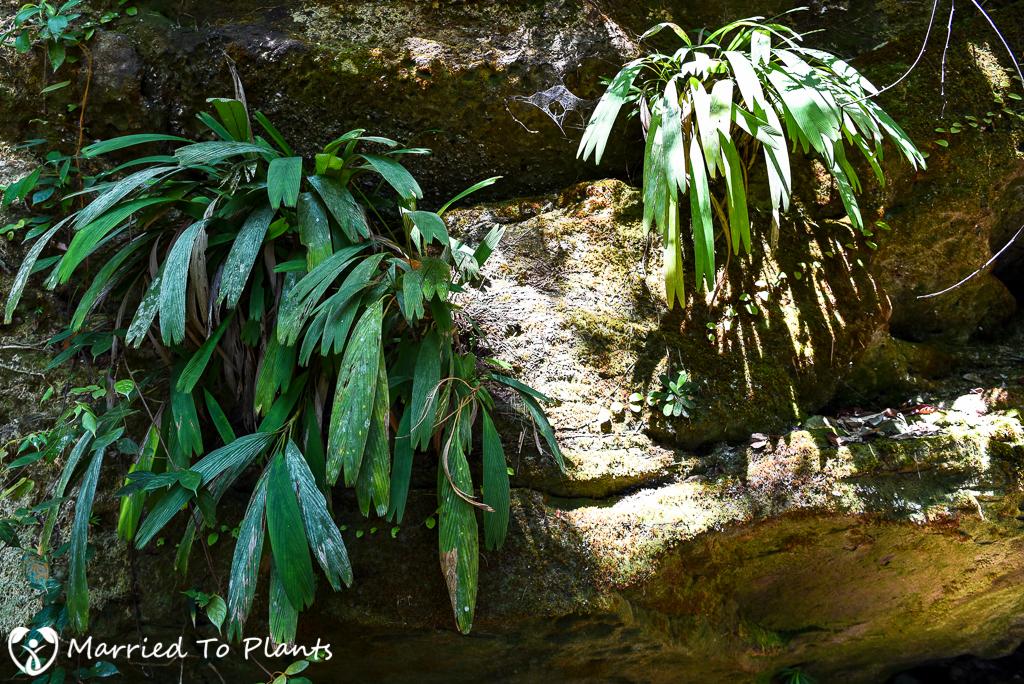 Bako National Park Pinanga rupestris