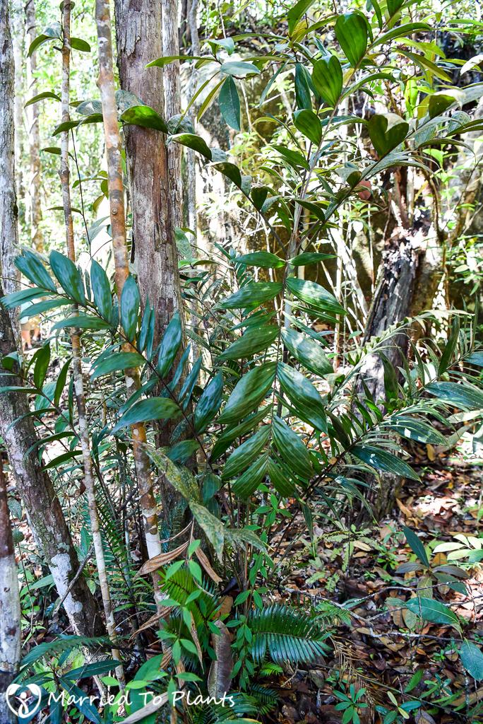 Bako National Park Pinanga salicifolia