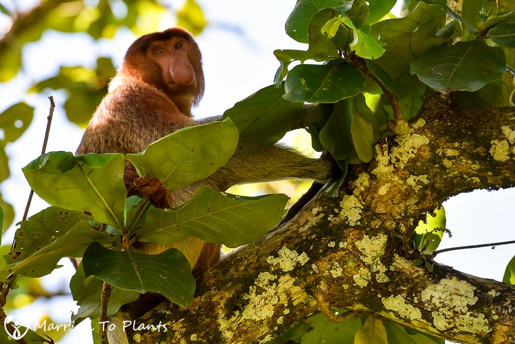 Bako National Park Proboscis Monkey (Nasalis larvatus)