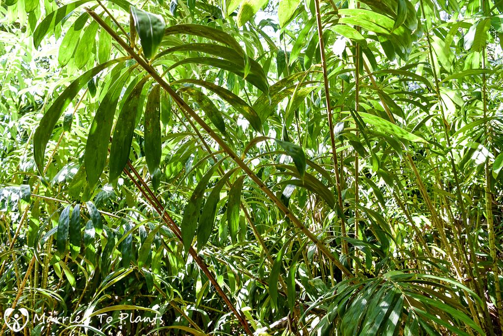 Bako National Park Salacca zalacca Leaf