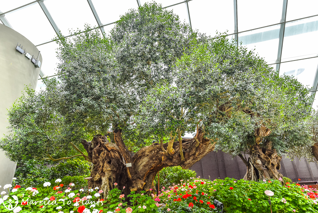 Gardens by the Bay 100 Year Old Olive Tree