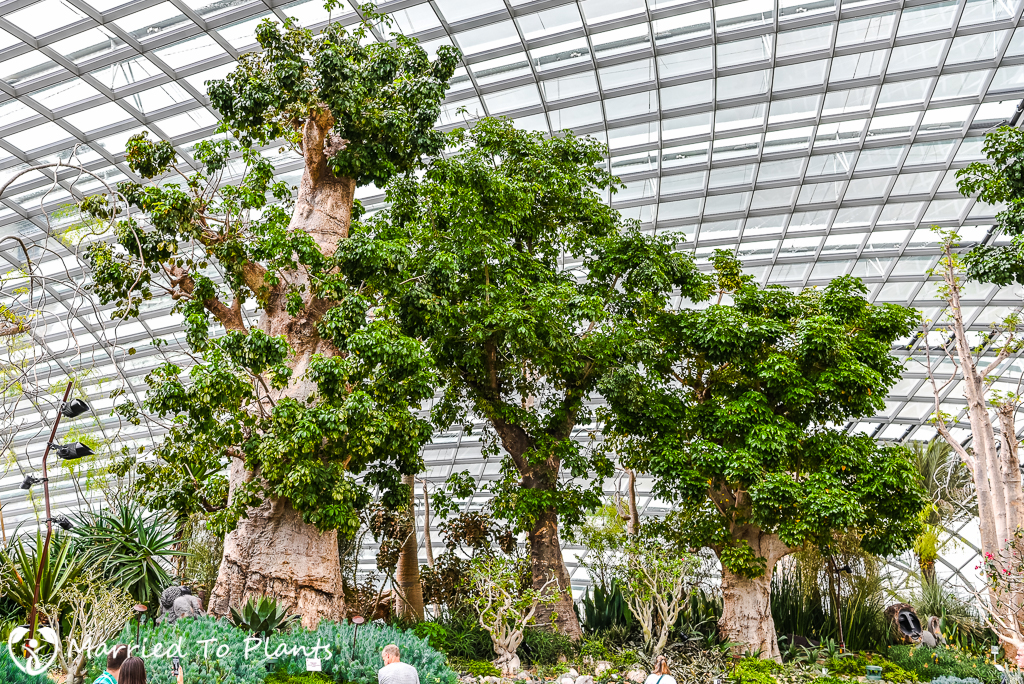 gardens by the bay baobabs
