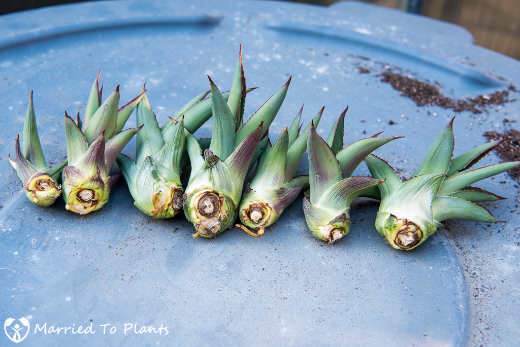 Agave 'Blue Glow' Bulbils Drying