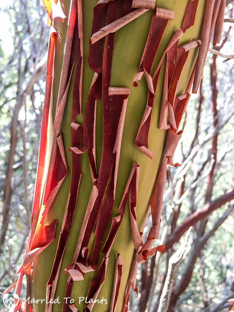 Arctostaphylos glauca Bark (Big-berry Manzanita)