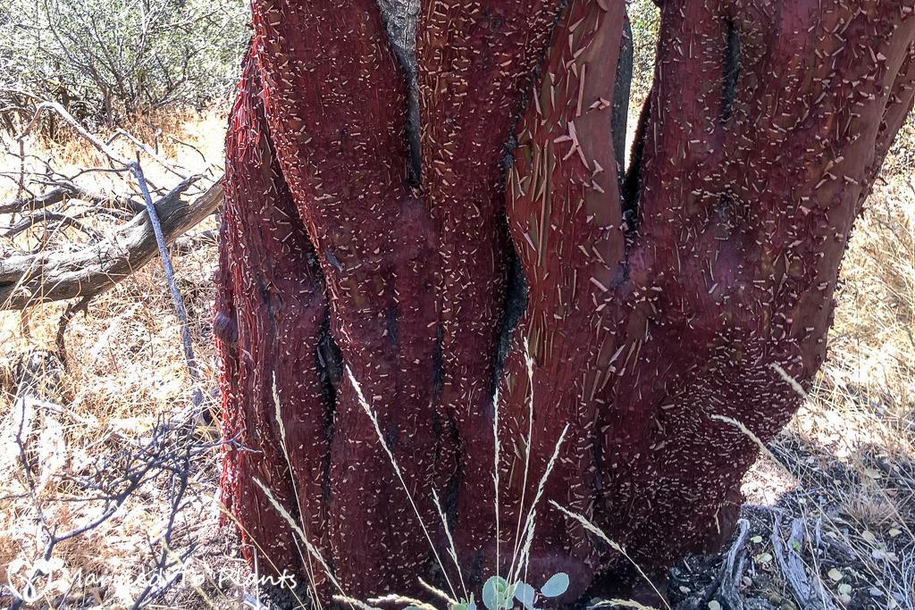 Arctostaphylos glauca Trunk (Big-berry Manzanita)