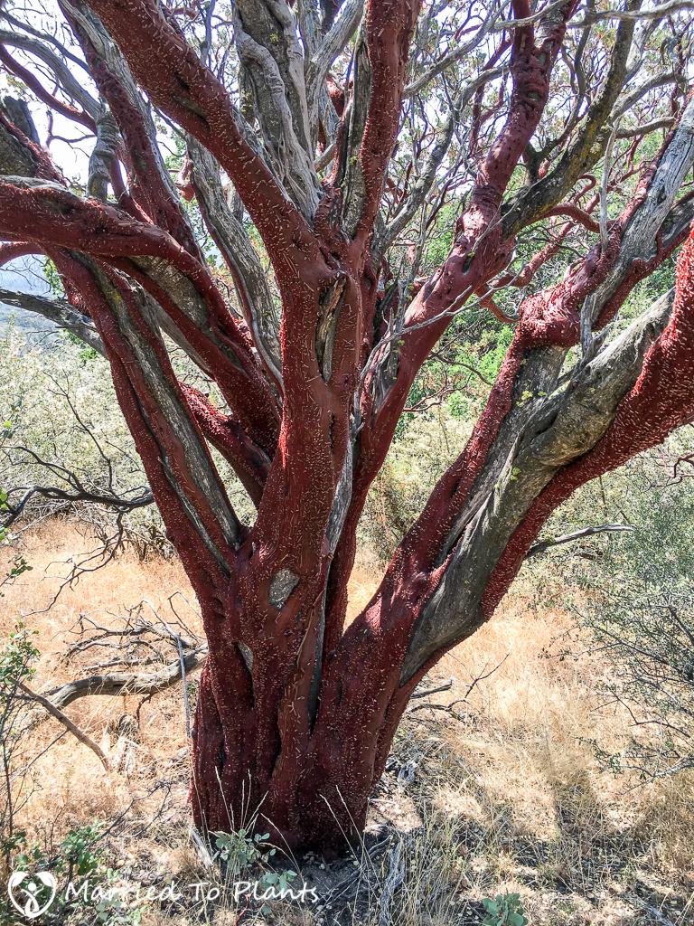 Arctostaphylos glauca (Big-berry Manzanita)