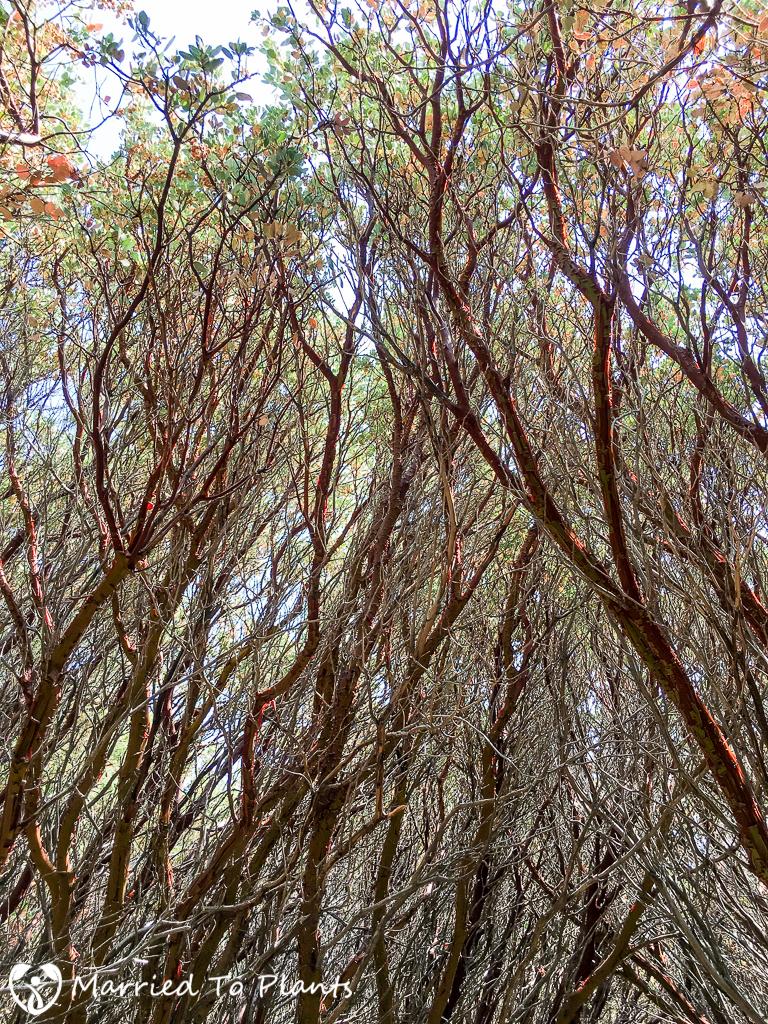 Arctostaphylos glauca Forest (Big-berry Manzanita)