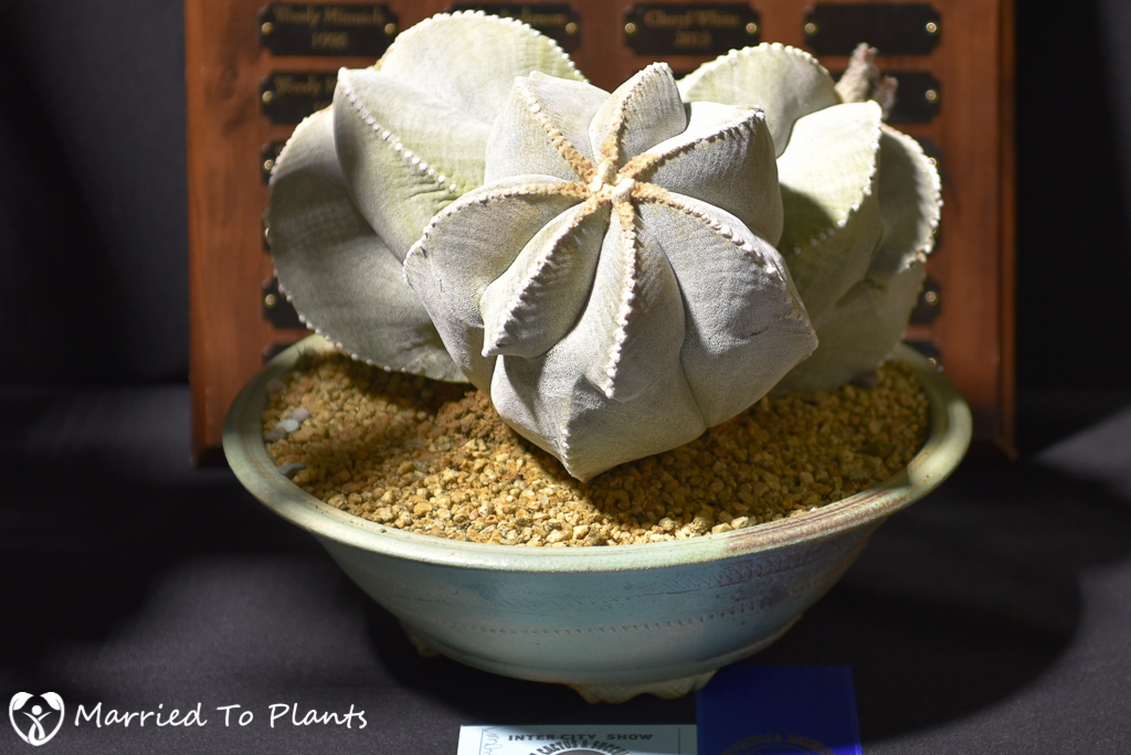 Astrophytum Champion - Intercity 2016