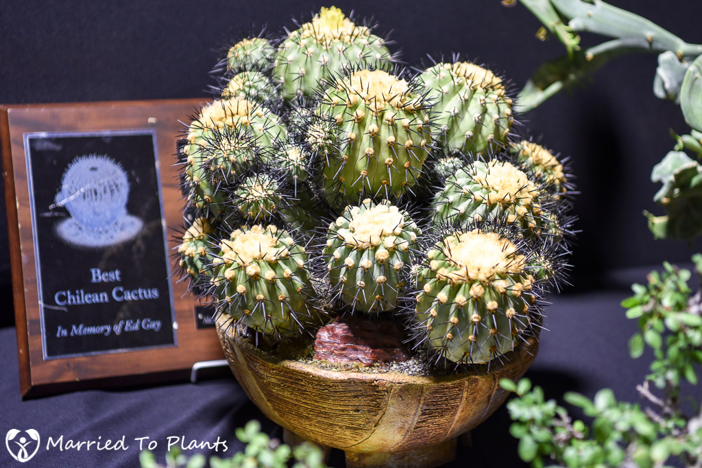 Copiapoa cinerea - Intercity 2016
