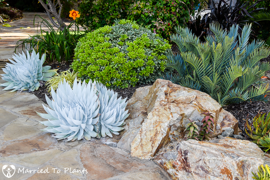 Dudleya brittonii (Giant Chalk Dudleya) in Landscape