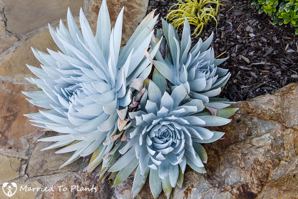 Dudleya brittonii (Giant Chalk Dudleya)