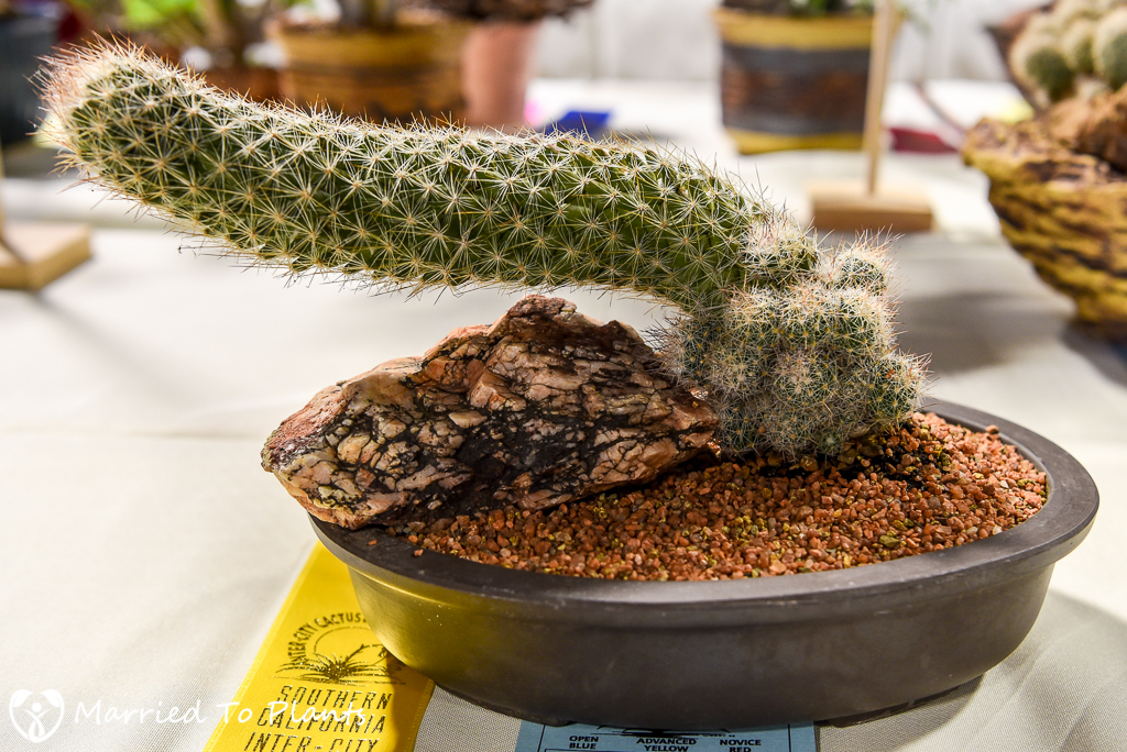 Escobaria tuberculosa - Intercity Show 2016