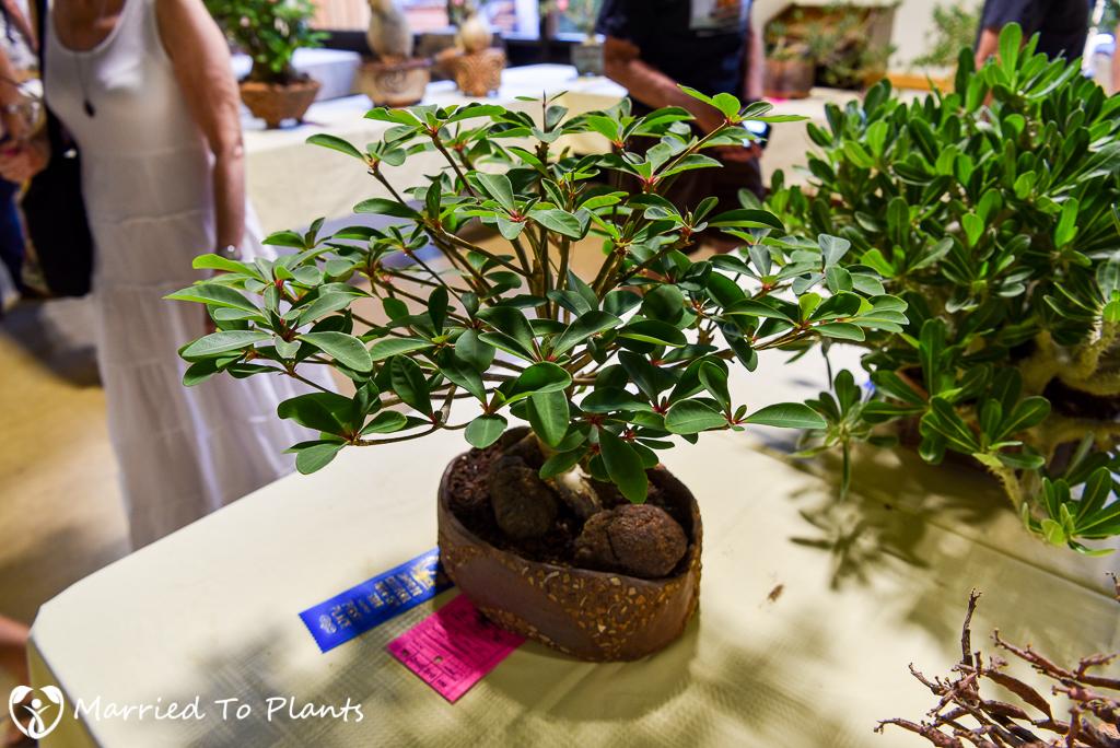 Euphorbia bongolavensis - Intercity 2016