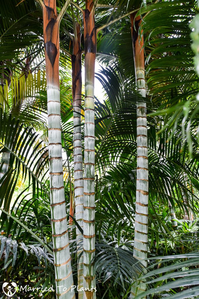 Gardens by the Bay Dypsis Hybrid