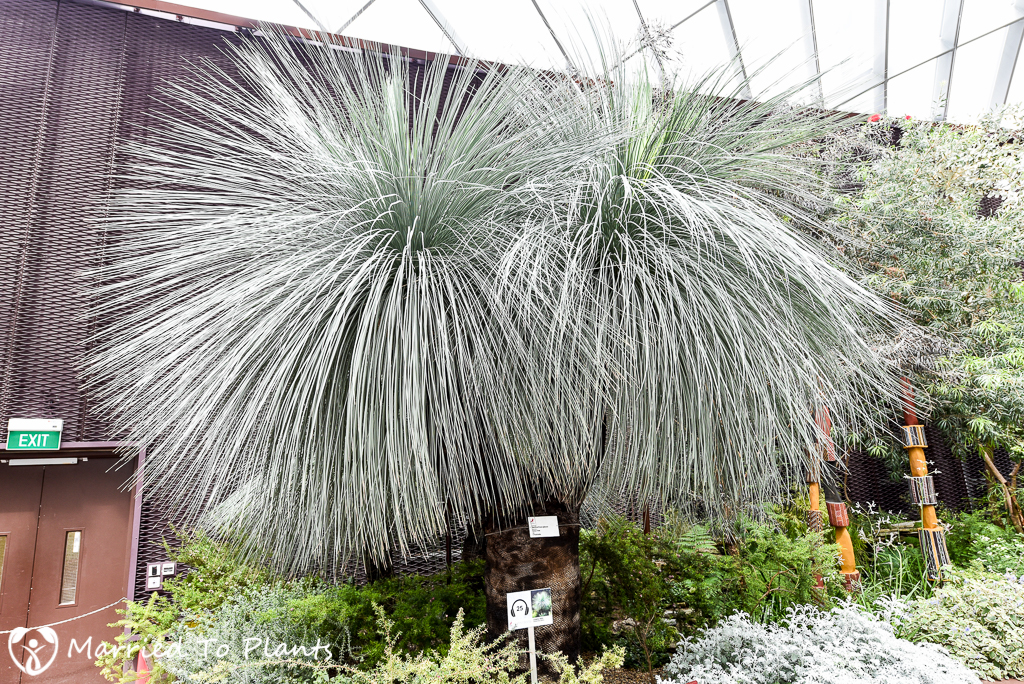 Gardens by the Bay Xanthorrhoea glauca