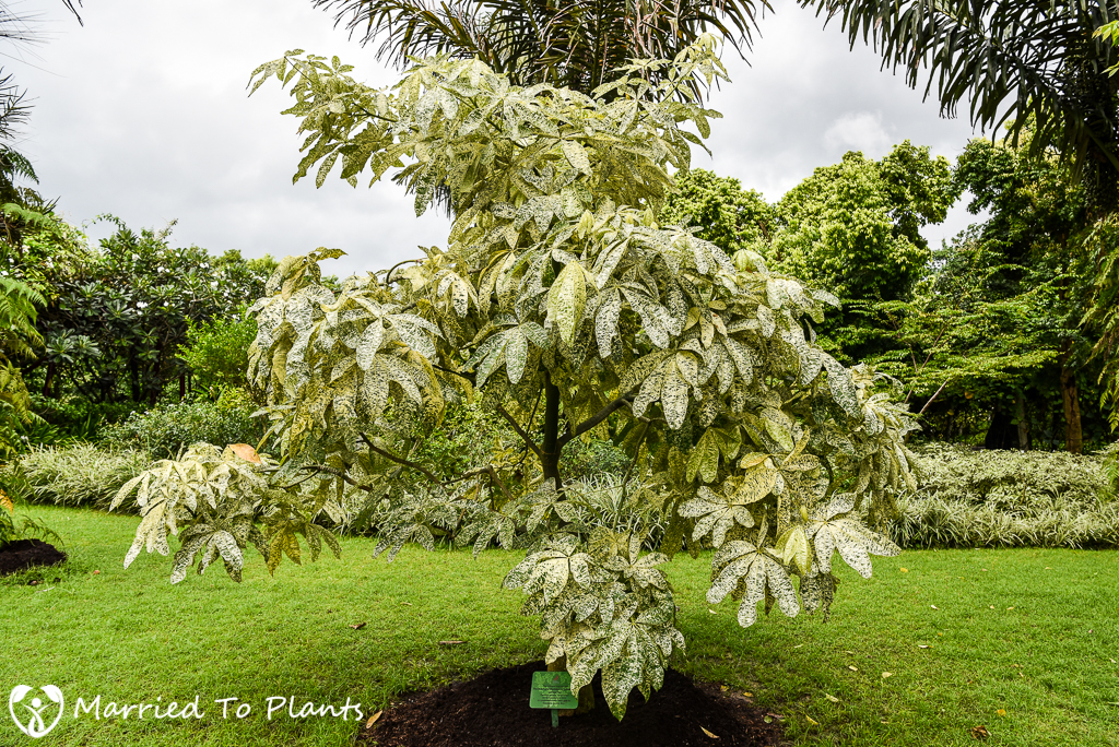 Gardens by the Bay Pachira glabra 'Variegata'