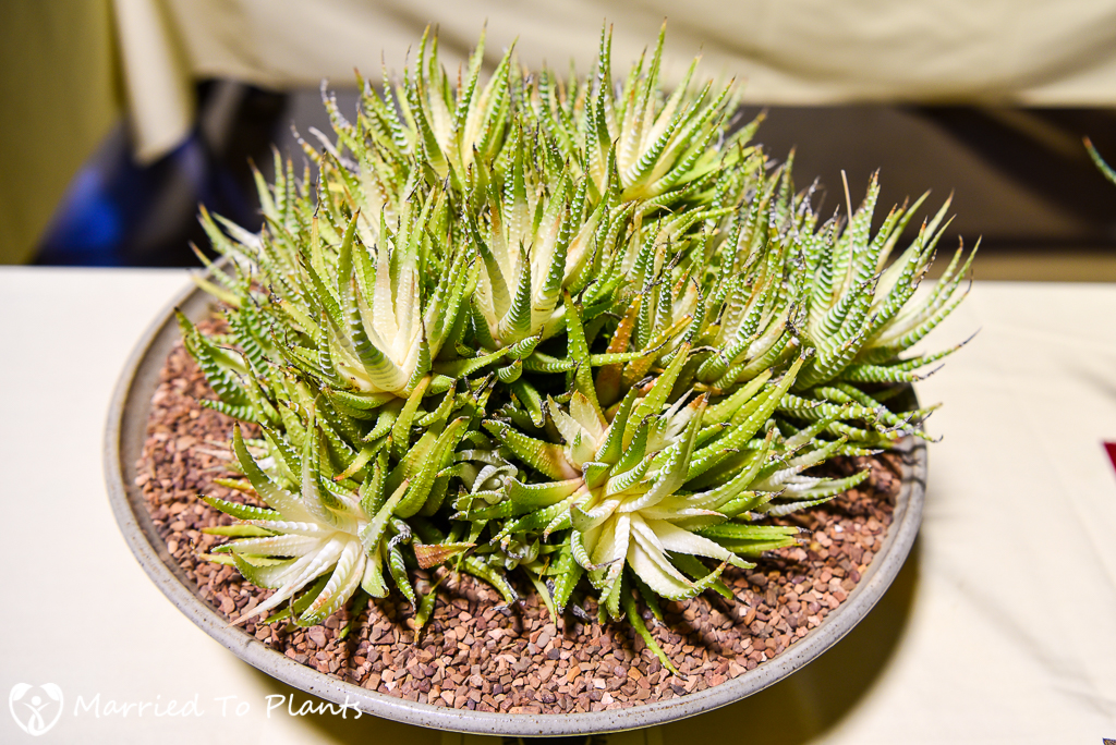 Haworthia attenuata - Intercity 2016