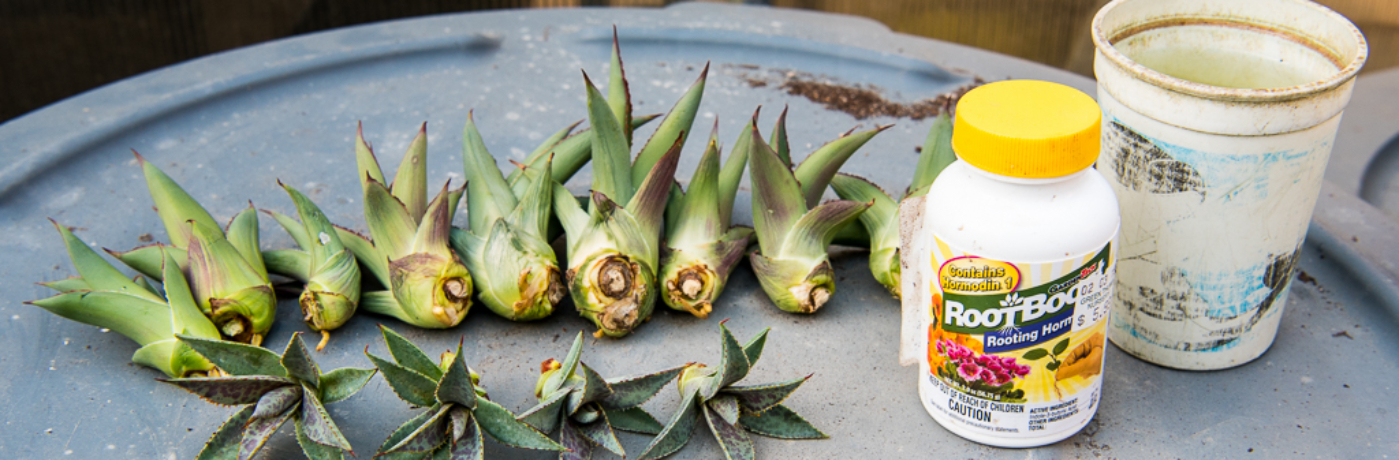 Agave propagation from bulbils.