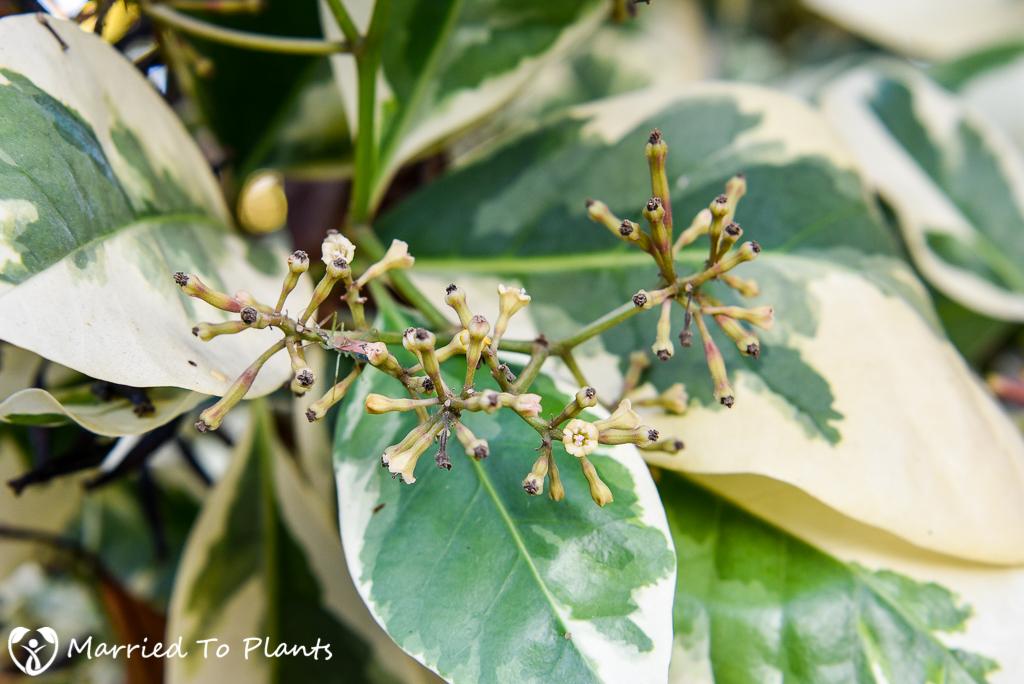 Pisonia umbellifera 'Variegata' Flowers